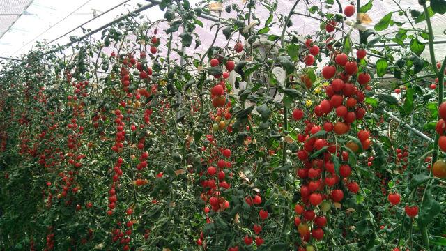 ミニトマト実証栽培施設