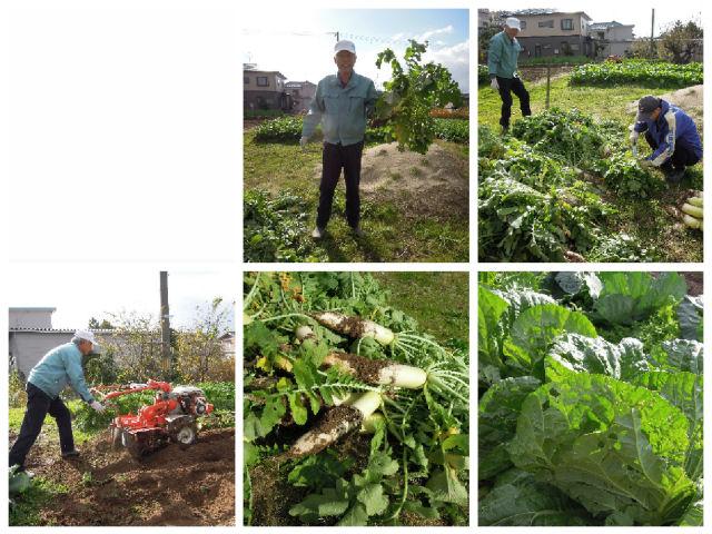冬野菜収穫!