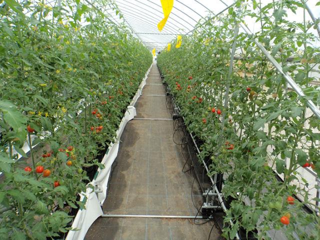 茨城でミニトマト収穫開始