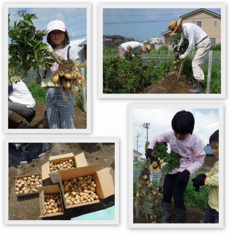 ジャガイモ大収穫!