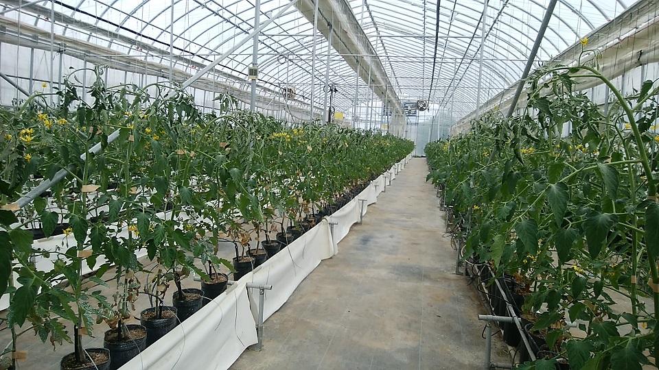 ミニトマト栽培施設2