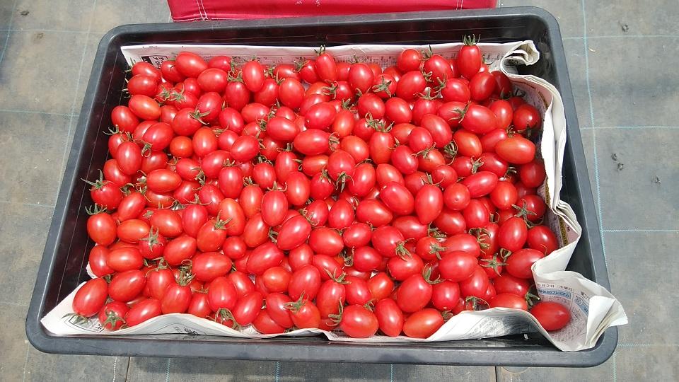 ミニトマト栽培施設4